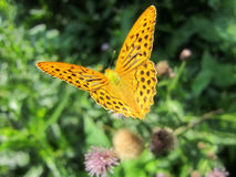 Silver-washed Fritillary 8. Silver-washed Fritillary on a thistle flower 8 Stock Images