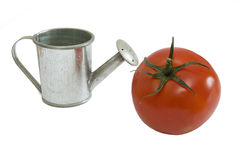Silver watering can with tomato Stock Image