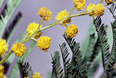 Silver Wattle Royalty Free Stock Photo