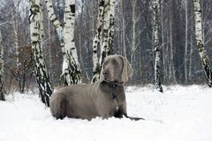 Silver Weimaraner dog lies on the snow in the winter forest