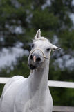 Silver white hannover horse Royalty Free Stock Image