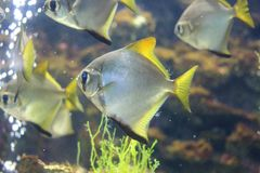 Silver or white proof. Pampus argenteus, often called either the silver or white pomfret, is a species of butterfish that lives in coastal waters off the Middle Royalty Free Stock Images