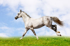 Silver-white stallion Royalty Free Stock Photos