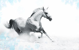 Silver-white stallion Stock Photo