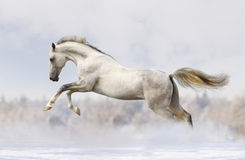 Silver-white stallion Stock Images