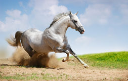 Silver-white stallion on field Stock Photos