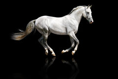 Silver-white stallion galloping Stock Images