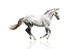 Silver-white stallion galloping Royalty Free Stock Photos