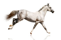 Silver-white stallion galloping Royalty Free Stock Photo