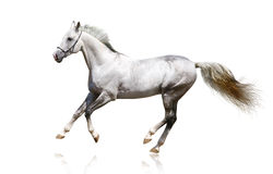 Silver-white stallion galloping Stock Photos