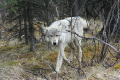 Silver Wolf. Silver female wolf enjoying a fresh rain in Denali National Park Royalty Free Stock Photos