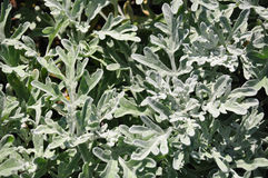 Silver wormwood (Artemisia stelleriana) Stock Photography