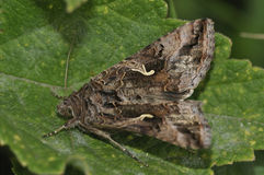 Silver Y Moth stock photography