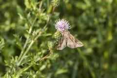 Silver Y moth (Autographa gamma) Royalty Free Stock Photo