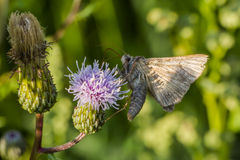 Silver Y moth (Autographa gamma) Stock Photography