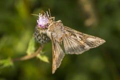Silver Y moth (Autographa gamma) Stock Images