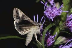 Silver Y moth macro closeup. Silver Y moth feeding on the flower closeup macro Royalty Free Stock Photography