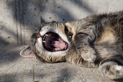 Silver Yawning Tabby Cat Stock Photos