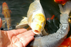 Silver and yellow koi carp Royalty Free Stock Images