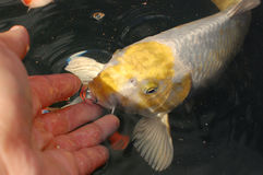Silver and yellow koi carp Stock Images