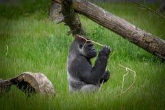 Silverback大猩猩 库存图片