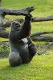 Silverback大猩猩 库存照片
