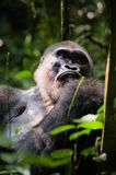 Silverback. Royalty Free Stock Images