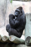 Silverback Stock Photos