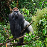 Silverback. Stock Photography