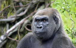 Silverback Royalty Free Stock Image