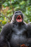 Silverback - adult male of a gorilla. Western Lowland Gorilla. Stock Photos