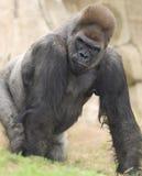 Silverback africain de gorille de terres en contre-bas occidentales Image stock