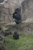 Silverback and baby Royalty Free Stock Photo