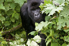Silverback in the branches Stock Images