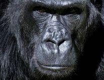 Silverback Congo Gorilla. This image shows a closeup male silverback congo gorilla at san Francisco zoo on May,2013 stock images
