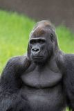 Silverback Congo Gorilla Royalty Free Stock Photos