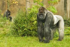 silverback de gorille image stock