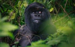 Silverback Gebirgsgorilla im Ruanda-Regenwald Stockbilder