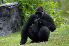 Silverback gorilla 02. A black silverback gorilla from Africa sits on the grass thinking Royalty Free Stock Photos
