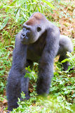 A silverback gorilla. Of the sub-species Eastern Lowland Gorilla (gorilla beringei graueri stock image