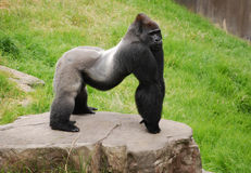 Silverback gorilla. Male silverback gorilla in guard posture Royalty Free Stock Images