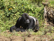 Silverback gorilla. Biggest silverback in Virunga mountains, Rwanda Stock Images