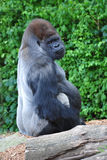 Silverback Gorilla. In a wildlife park royalty free stock photography