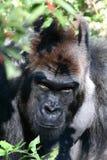 Silverback Gorilla. Glaring through the brush Royalty Free Stock Photo