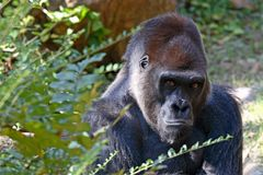 Silverback Gorilla. Sitting and looking out Stock Photo