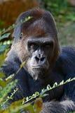 Silverback Gorilla. Looking at the camera Royalty Free Stock Photo