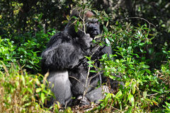 Silverback gorilla Stock Photo