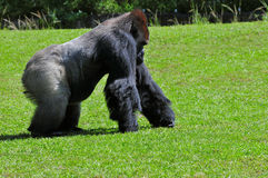 Silverback Gorilla Stockfoto