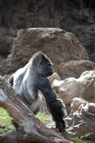 Silverback Gorilla. Ntimidating silverback gorilla posing on a stone Royalty Free Stock Images