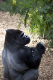 Silverback Gorilla. Ntimidating silverback gorilla posing on a stone Stock Photography